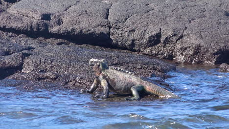 A-marine-iguana-walks-into-the-waves-on-the-volcanic-shores-of-the-Galapagos-Islands-Ecuador