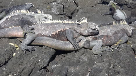 Marine-iguanas-bask-in-the-sun-on-the-volcanic-shores-of-the-Galapagos-Islands-Ecuador