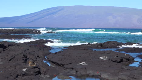 Marine-iguanas-bask-in-the-sun-on-the-volcanic-shores-of-the-Galapagos-Islands-Ecuador-1