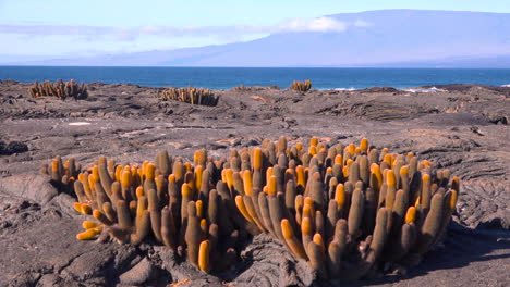 Endemic-lava-cactus-grows-on-the-volcanic-shores-of-the-Galapagos-Islands-Ecuador