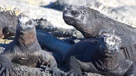 Marine-iguanas-bask-in-the-sun-on-the-volcanic-shores-of-the-Galapagos-Islands-Ecuador-2