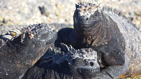 Marine-iguanas-bask-in-the-sun-on-the-volcanic-shores-of-the-Galapagos-Islands-Ecuador-4