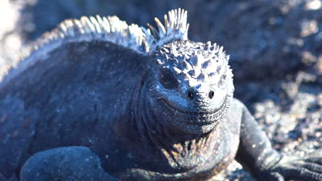 Marine-iguanas-bask-in-the-sun-on-the-volcanic-shores-of-the-Galapagos-Islands-Ecuador-5