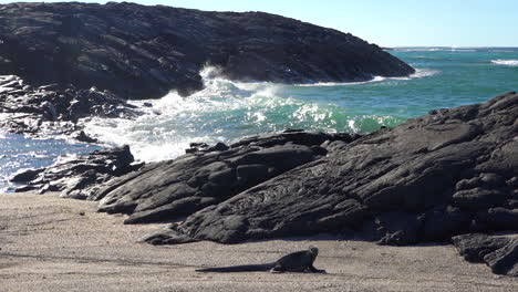 Marine-iguanas-bask-in-the-sun-on-the-volcanic-shores-of-the-Galapagos-Islands-Ecuador-6