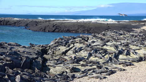 Marine-iguanas-are-perfectly-camouflaged-on-volcanic-stone-in-the-Galapagos-Islands-Ecuador-1