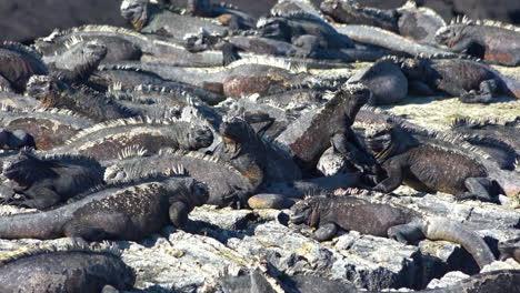 Las-Iguanas-Marinas-Toman-El-Sol-En-Las-Costas-Volcánicas-De-Las-Islas-Galápagos-Ecuador-7