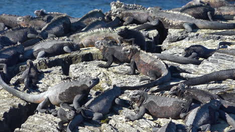 Marine-iguanas-bask-in-the-sun-on-the-volcanic-shores-of-the-Galapagos-Islands-Ecuador-8