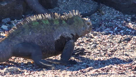 Iguanas-Marinas-Caminar-Sobre-Las-Costas-Volcánicas-De-Las-Islas-Galápagos-Ecuador