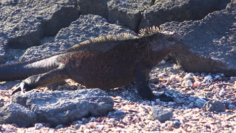 Marine-iguanas-walk-on-the-volcanic-shores-of-the-Galapagos-Islands-Ecuador-1