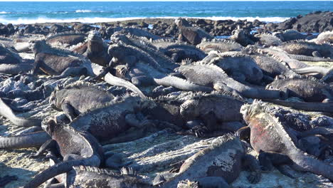 Marine-iguanas-are-perfectly-camouflaged-on-volcanic-stone-in-the-Galapagos-Islands-Ecuador-2