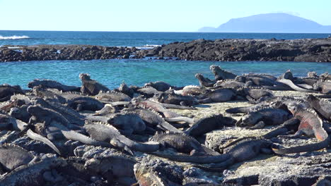 Marine-iguanas-are-perfectly-camouflaged-on-volcanic-stone-in-the-Galapagos-Islands-Ecuador-3