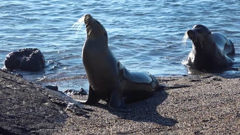 Young-sea-lions-emerge-from-the-surf-on-the-Galapagos-Islands