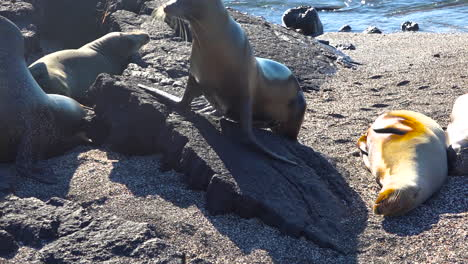 Jóvenes-Lobos-Marinos-Emergen-De-Las-Olas-En-Las-Islas-Galápagos-1