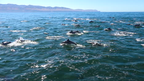 Thousands-of-dolphins-migrate-in-a-massive-pod-through-the-Channel-Islands-National-Park