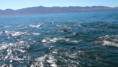 Thousands-of-dolphins-migrate-in-a-massive-pod-through-the-Channel-Islands-National-Park-2