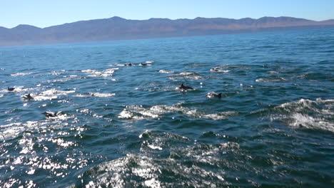 Miles-De-Delfines-Migran-En-Una-Manada-Masiva-A-Través-Del-Parque-Nacional-De-Las-Islas-Del-Canal-2