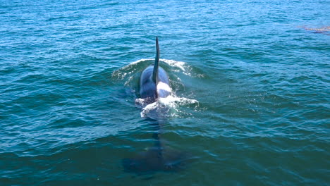 Huge-Orca-killer-whale-swimming-in-the-Pacific-Ocean-near-the-Channel-Islands-Santa-Barbara-California