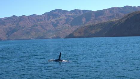 Huge-Orca-killer-whale-swimming-in-the-Pacific-Ocean-near-the-Channel-Islands-Santa-Barbara-California-1