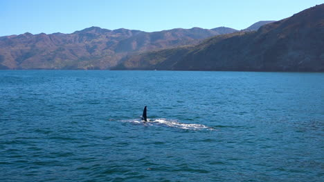 Enorme-Orca-Orca-Nadando-En-El-Océano-Pacífico-Cerca-De-Las-Islas-Del-Canal-De-Santa-Bárbara-California-2