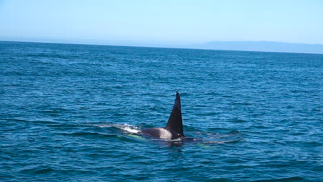 Huge-Orca-killer-whale-swimming-in-the-Pacific-Ocean-near-the-Channel-Islands-Santa-Barbara-California-3