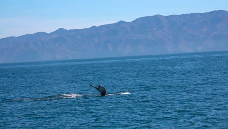 Ballena-Jorobada-Nadando-En-El-Océano-Pacífico-Cerca-De-Las-Islas-Del-Canal-De-Santa-Bárbara-California