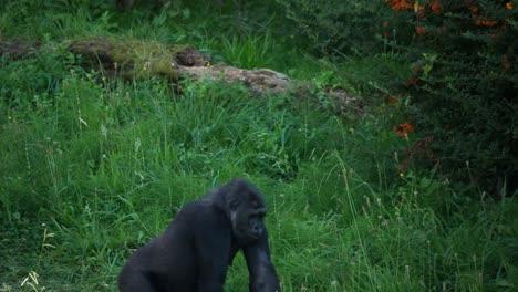 Gorilla-08