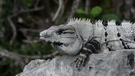 Iguana-22