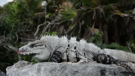 Iguana-23