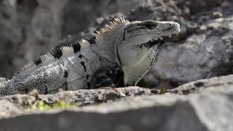Iguana-25