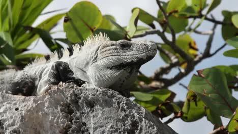 Iguana-27
