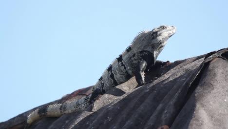 Iguana-30