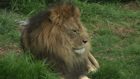 A-lion-rests-in-the-grass