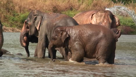 Elephants-walk-in-the-water-as-a-man-splashes-water-on-them-with-a-bucket