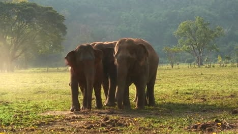 One-elephant-mounts-another-in-an-open-field