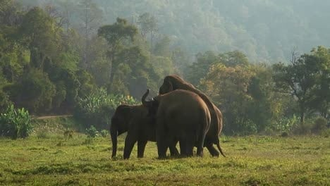 One-of-three-elephants-mounts-another-in-a-field