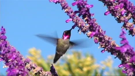 A-humming-bird-gathers-nectar-from-purple-flowers