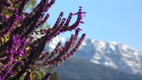 Close-up-of-small-purple-mountain-flowers