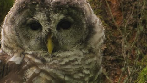 A-spotted-owl-rests-on-a-tree-covered-in-moss