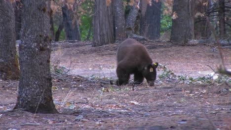 A-tagged-brown-bear-searches-for-food-1