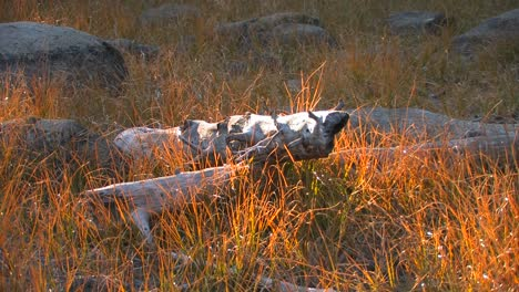 Old-logs-lay-in-a-field-at-Tuolumne-Meadows-in-Yosemite-National-Park
