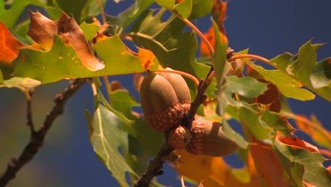 Herbstblätter-Einer-Eiche-Leuchten-In-Der-Sonne-2
