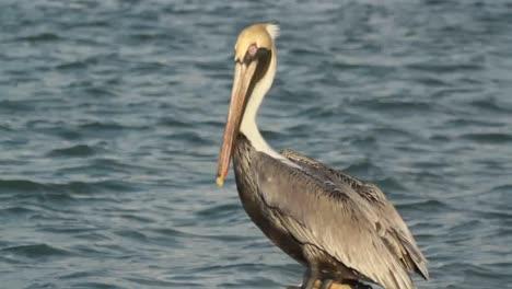 Largartos-Pelicans-01