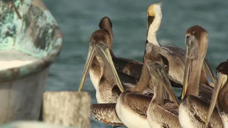 Largartos-Pelicans-02