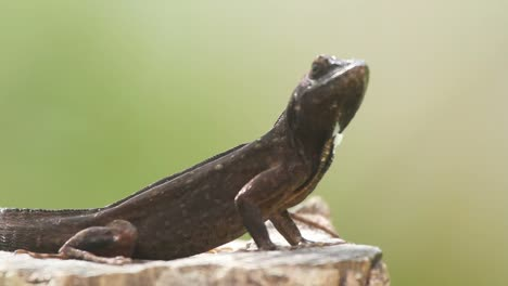 Lizard-11