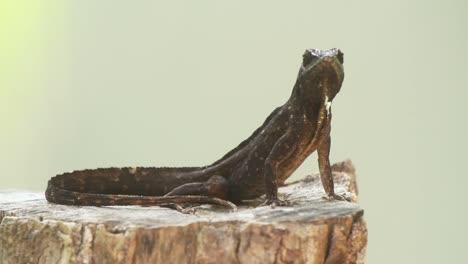 Lizard-4