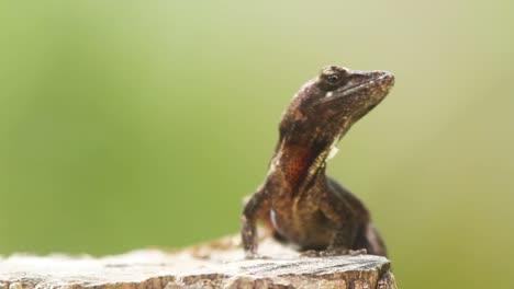 Lizard-8