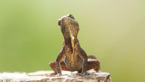 Lizard-9