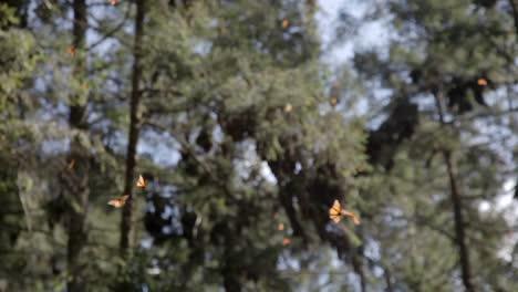 Butterflies42