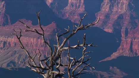 A-dry-and-bare-tree-overlooks-a-valley-of-mesas-in-Grand-Canyon-National-Park-in-Arizona