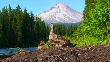 A-group-of-ducks-stand-on-the-shore-of-Trillium-Lake-near-Mt-Hood-in-Oregon